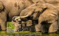 Elephants Drinking (2)