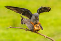 Red-footed Falcons Mating