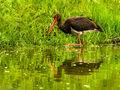 Black Stork (1)