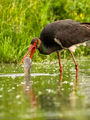 Black Stork (2)