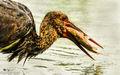 Black Stork (3)