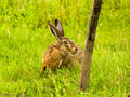 Brown Hare (2)