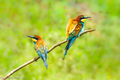 European Bee-eaters (1)