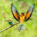 European Bee-eaters (4)