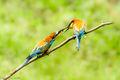European Bee-eaters (3)