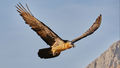 Bearded Vulture (1)