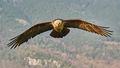 Bearded Vulture (3)