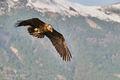 Bearded Vulture (2)