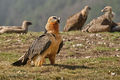 Bearded Vulture (5)