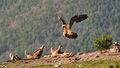 Bearded Vulture (4)