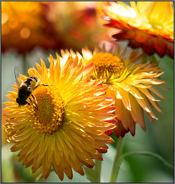 Bee on gold