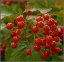 Berries, Viburnum opulis