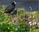 Coot with eggs