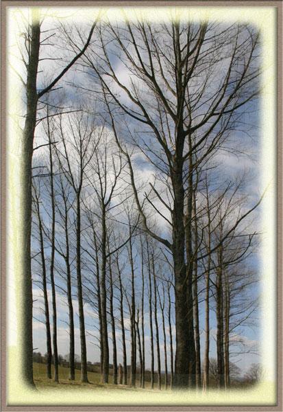 Dinefwr poplars