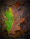 Oak leaf colours
