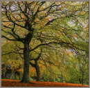 Painted beech trees