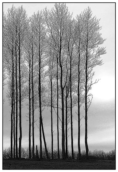 Poplars sketched