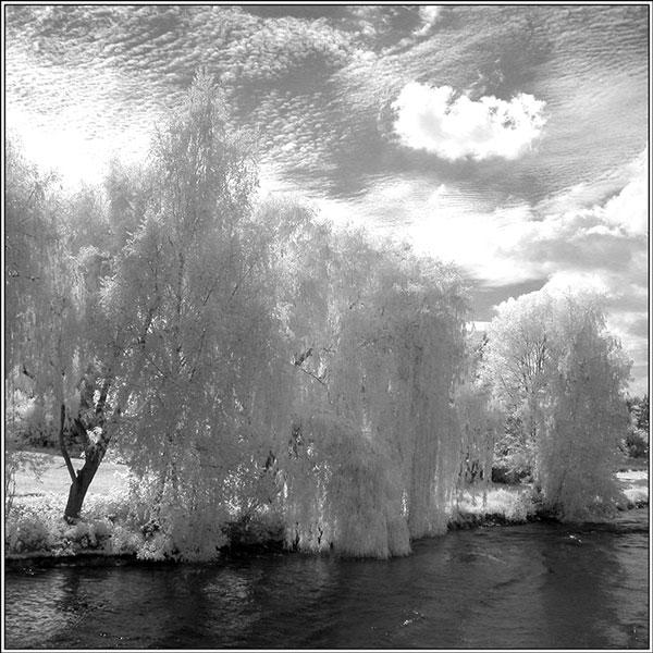 Rhine willows