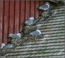 Rooftop nesting