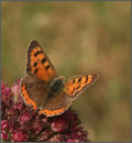 Small copper on sedum