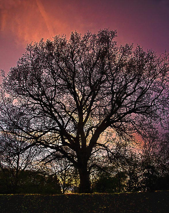 Sunsetting behind bare tree.