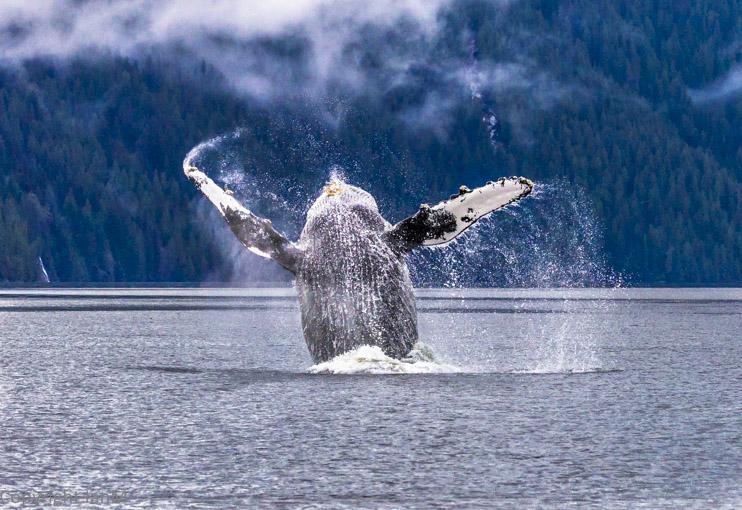 Humpbacks (4)