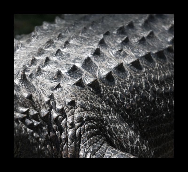 American Alligator... a survivor