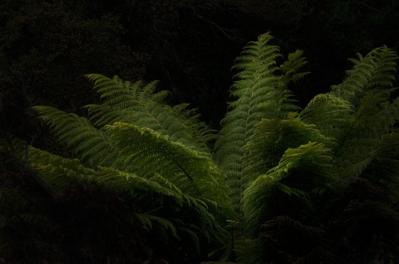 Arthur River fern