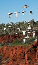 Corellas in flight