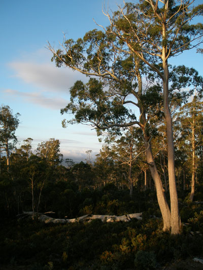 Cradle Mt trees