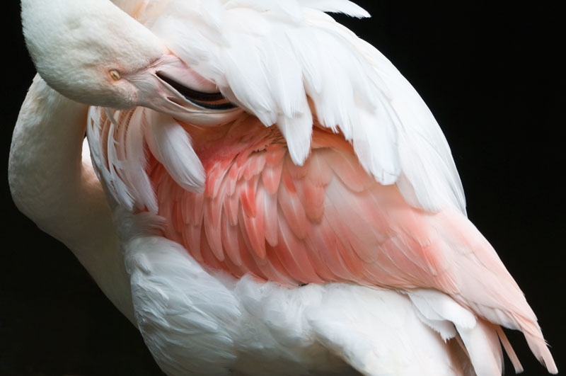 Preening Greater flamingo