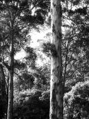 leeuwin tree