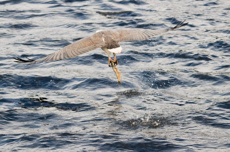 Whitebellied sea eagle