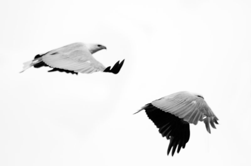 white bellied sea eagle flight sequence