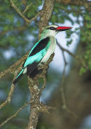 Woodland Kingfisher.