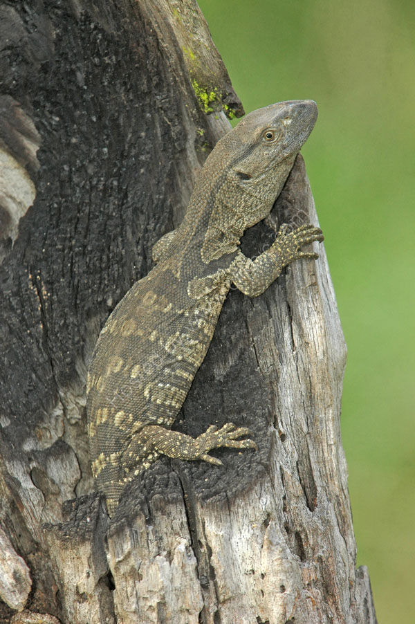 Tree Lizard sp.
