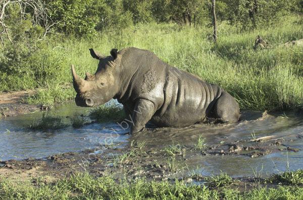 White Rhinoceros.
