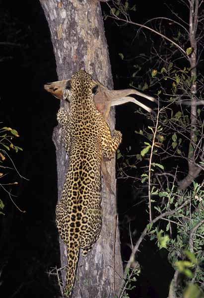 Seseka climbing tree with Duiker.