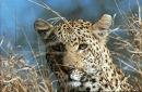Male Leopard.