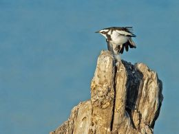African Pied Wagtail in flight