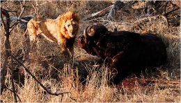 Confrontation Lion and Buffalo