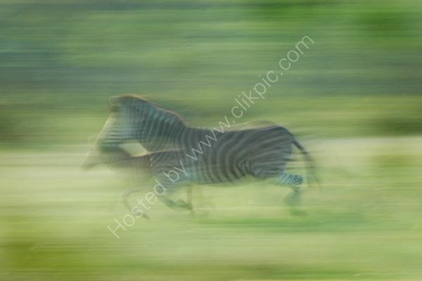 Zebra's on the run.