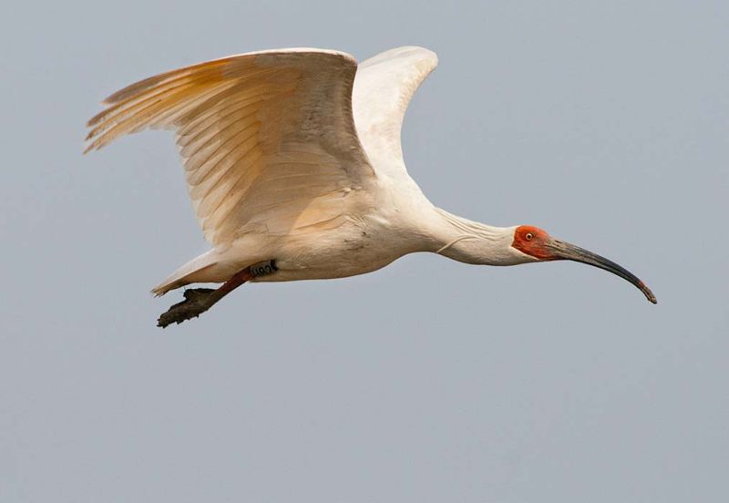 Crested Ibis in flight