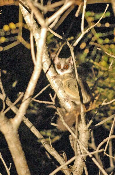 Lesser Bushbaby