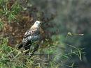Changable Hawk Eagle.