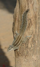 Five-Striped Palm Squirrel.