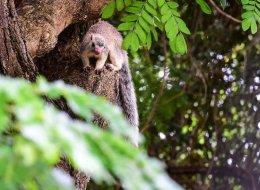 Common Sri Lanka Giant Squirrel