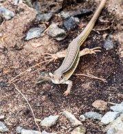 Yellow-throated Plated Lizard
