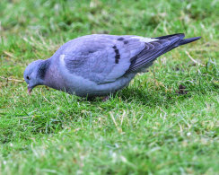 Stock Dove