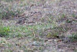 Short-tailed Lark